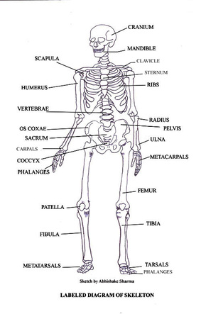 skeletal diagram   the amazing skeletal systemskeletal system diagram